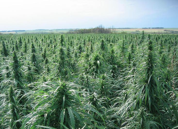 Промышленная конопли кто первый начал курить марихуану