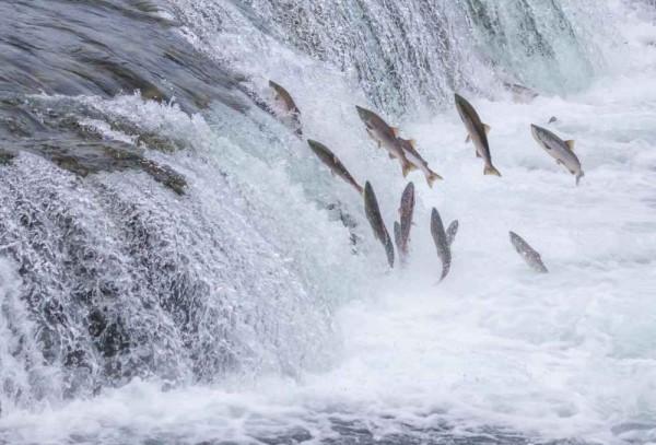 Дикий лосось резвится на воле