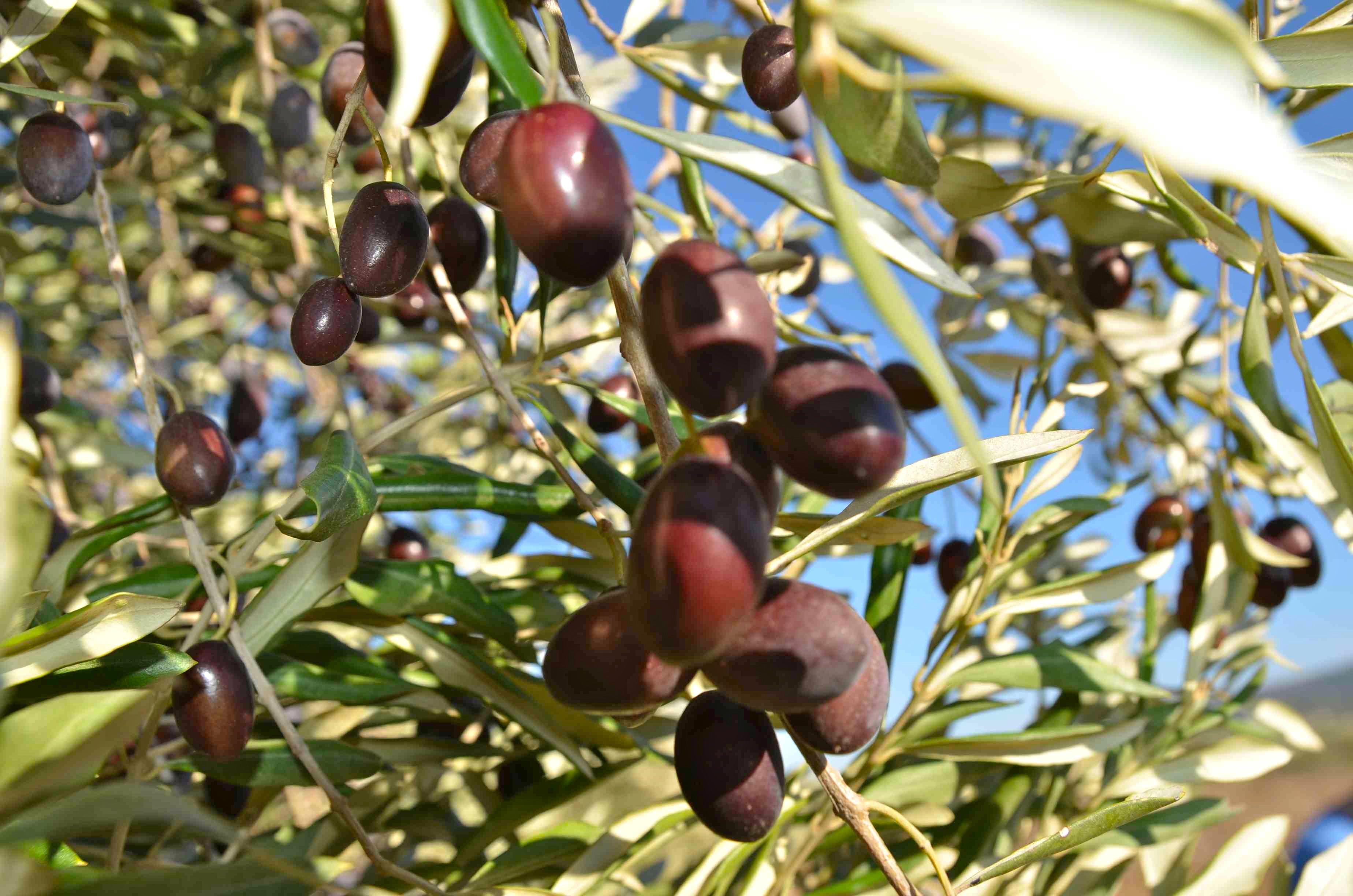 olives lr