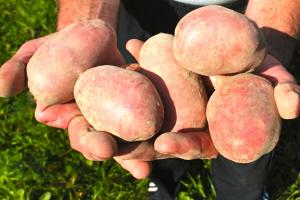 Victoria potatoes
