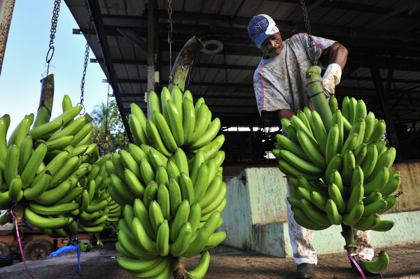 Banana plantation green