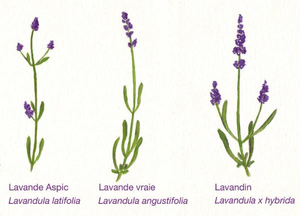 3-lavandes-2