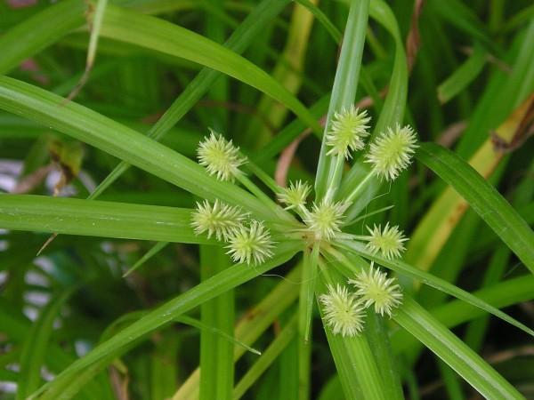 Циперус, фото с сайта www.flickr.com