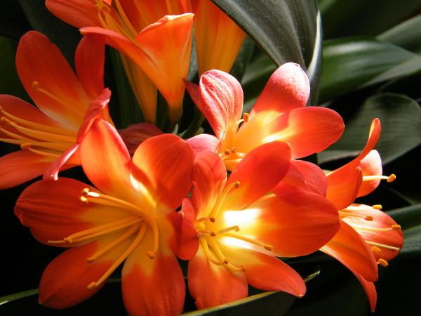 glowing-orange-clivia-flowers-mary-sedivy