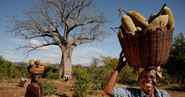 Баобаб – дерево и порошок
