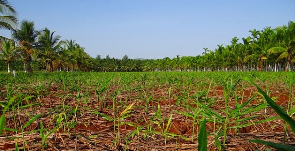 plantation-343897_640