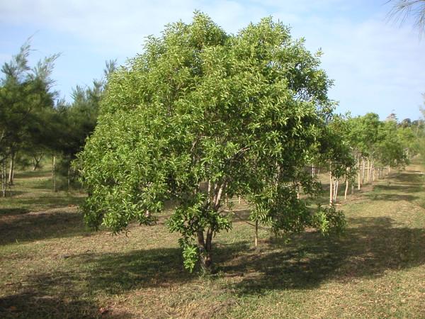 Сандаловое дерево из Вануату, Меланезия. Фотография с сайта sandalwoodoilspecialist.com