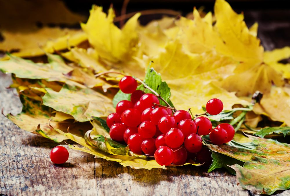autumn-bunch-of-viburnum-with-yellow-leaves