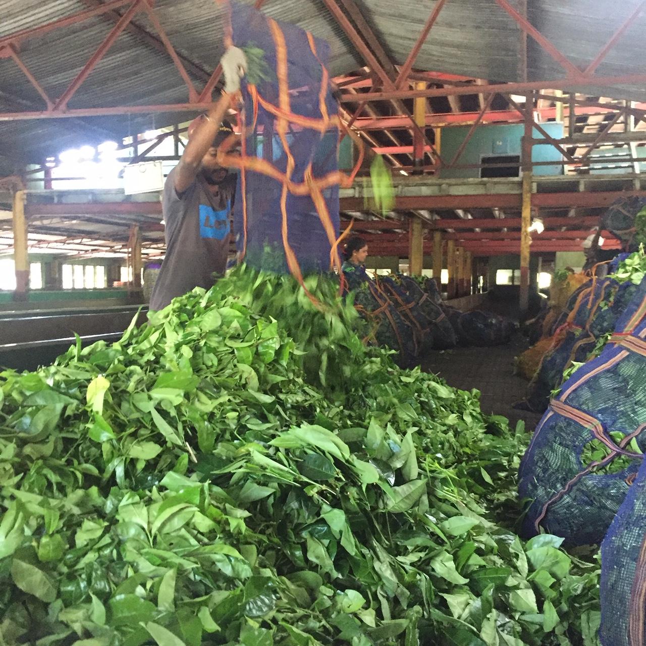 Свежий чайный лист привезли на фабрику