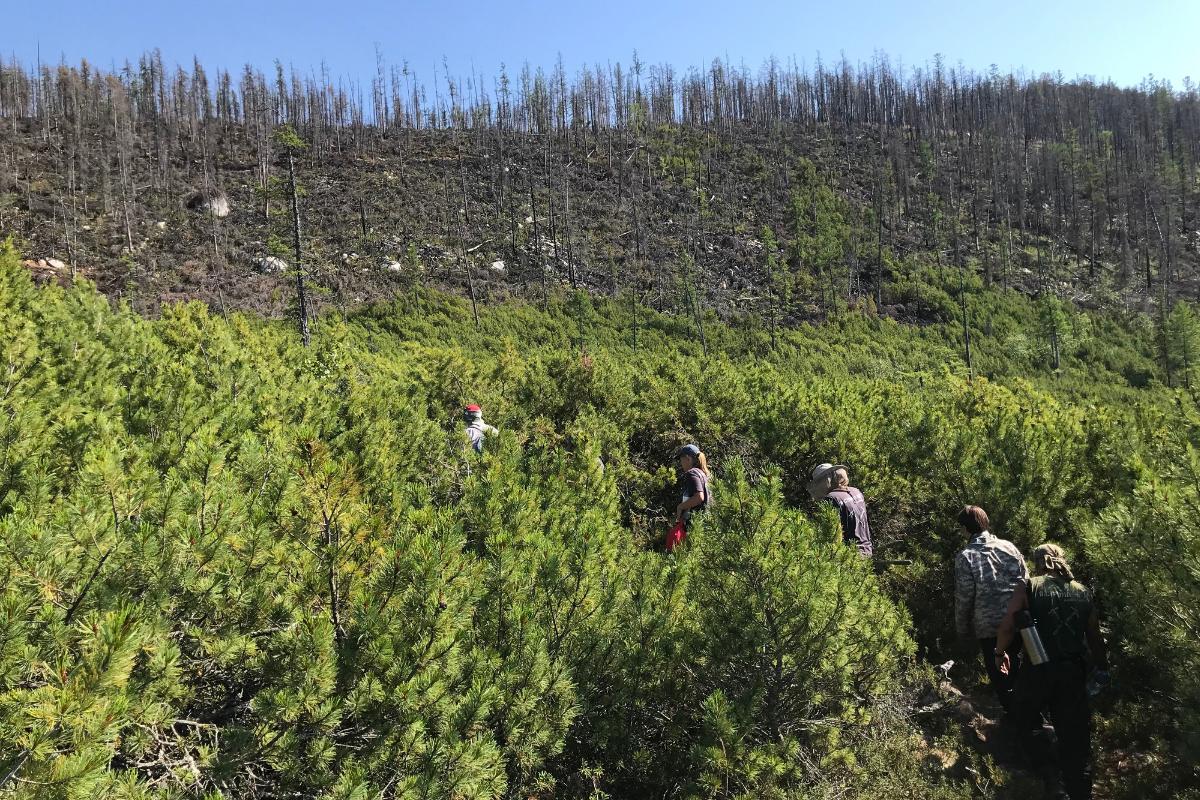 лес тайга сибирь волонтер