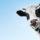 Беспривязное содержание животных в органик