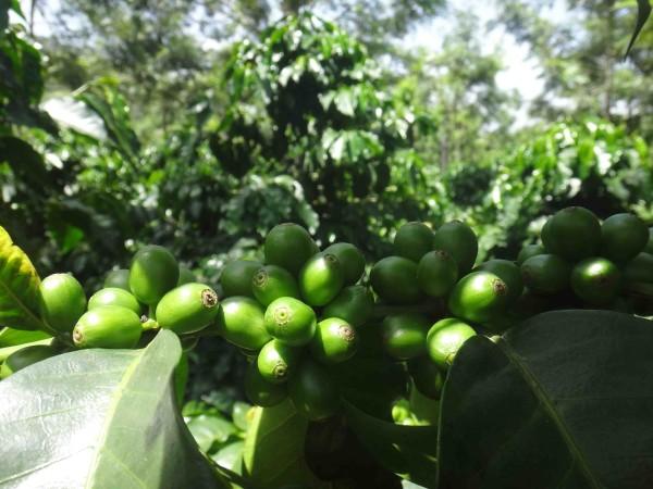 зеленый кофе зеленый лр