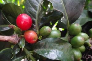 зеленый кофе миниатюра лр