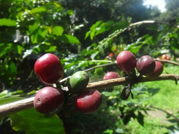 красные ягодки лр