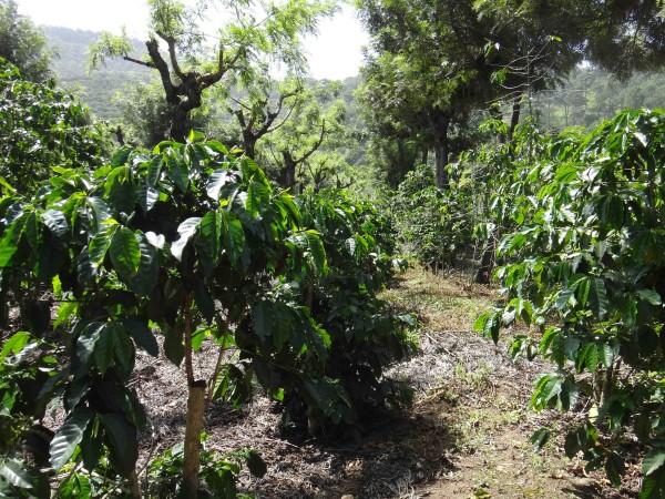 плантация зеленого кофе лр