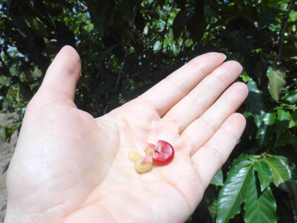 ягодка кофе лр