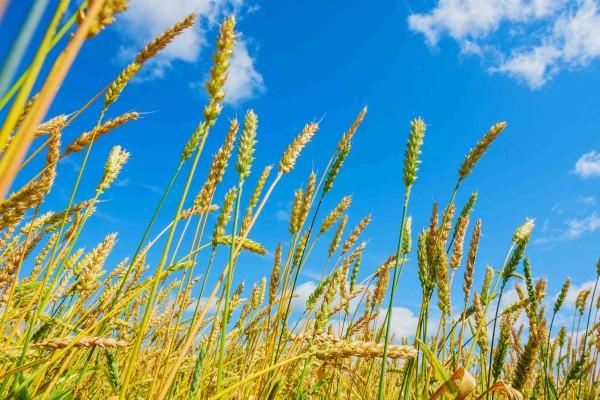 wheat field lr