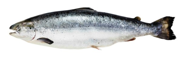 рыба фото лосось