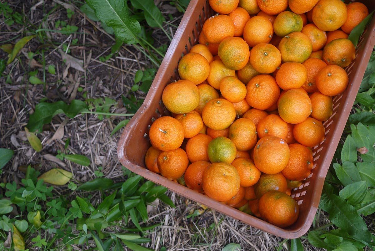 mandariny urozhai