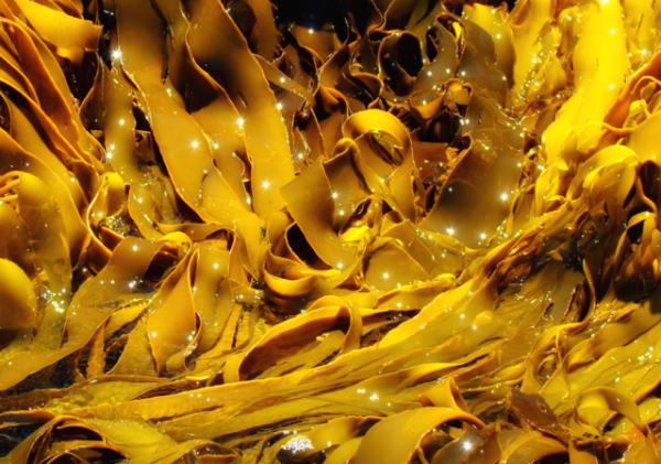 Kelp_In_Freycinet_Tasmania