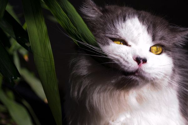 Poisonous-Plants-and-Your-Feline