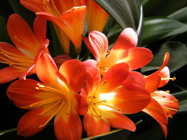 glowing-orange-clivia-flowers-mary-sedivy