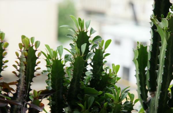 Молочай треугольный (Euphorbia Trigona), фото с сайта www.flickr.com
