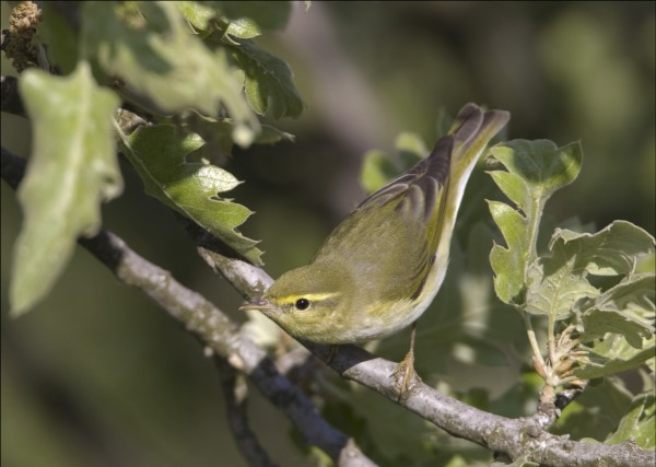 wood-warbler-dad01-david-dillon-e1410258651413