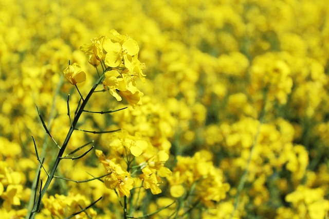oilseed-rape-761453_640