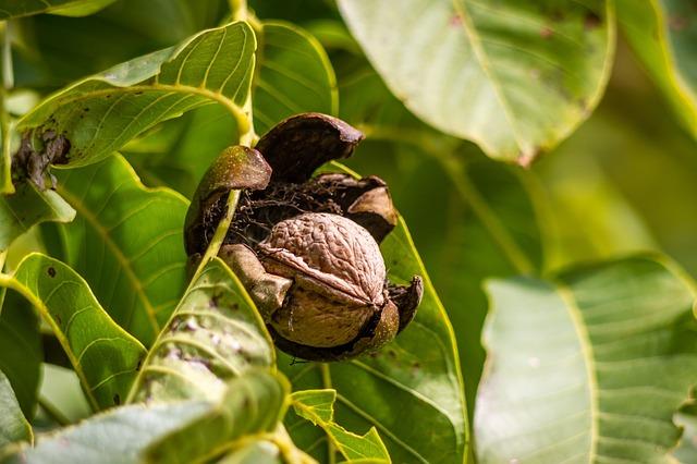 walnut-970451_640