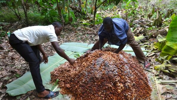 Сбор какао бобов. Фотография с сайта https://onthecocoatrail.files.wordpress.com/