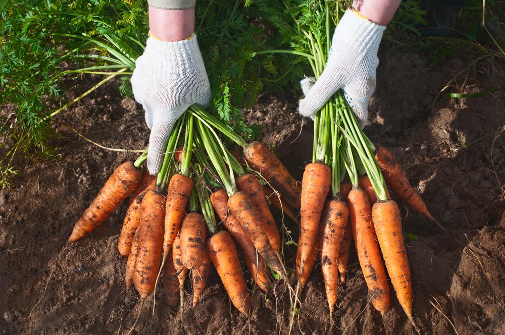 Морковь в лучшем виде