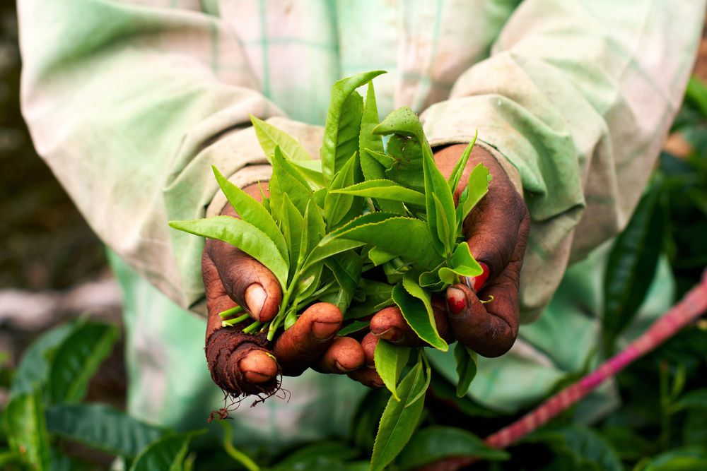 woman-hand-holding-green-tea-leaf