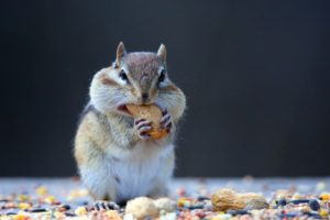 a-chipmunk-tamias-stuffs-three-peanuts-in-its-mouth
