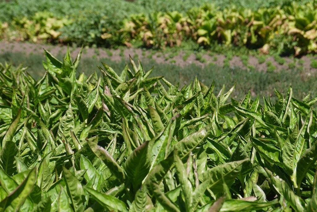 Индиго (сырье для органик-красителя) - один из экспериментов мистера Вебера - выращивается на ферме первый год.