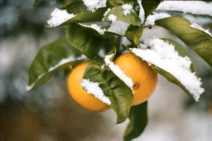Artur Postnikov foto 15 mandarini pod snegom
