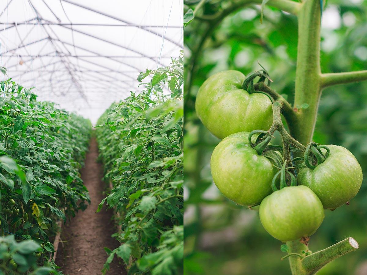 bioferma kubani pomidory