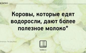 коровы_vnezapno