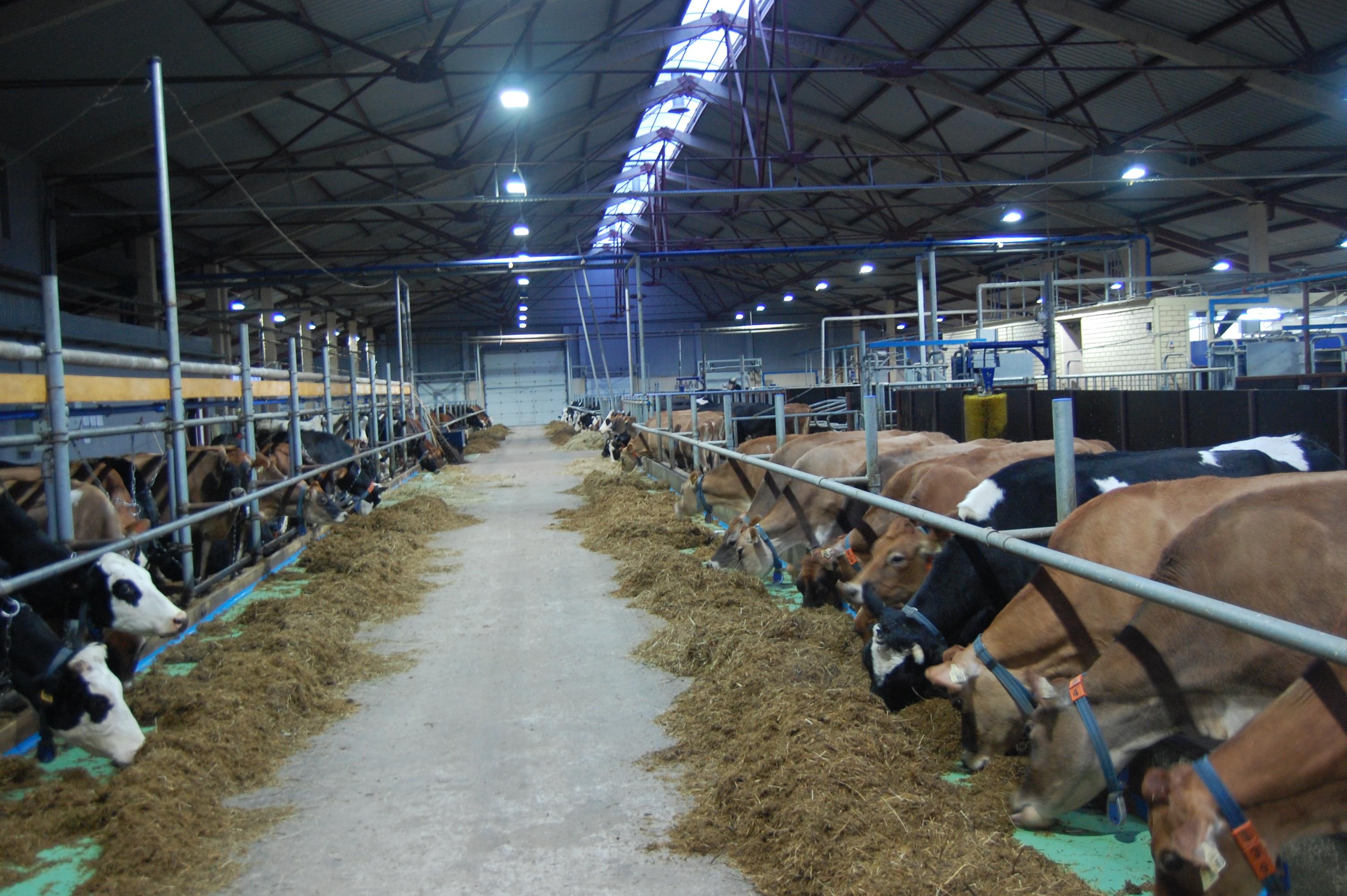 ugleche_cows
