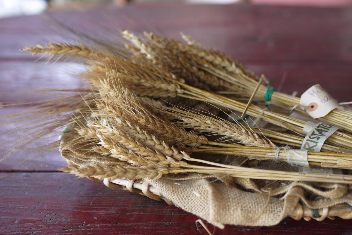 Древние сорта пшеницы