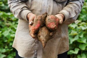 batat sweet potato zemlya fermer korneplod