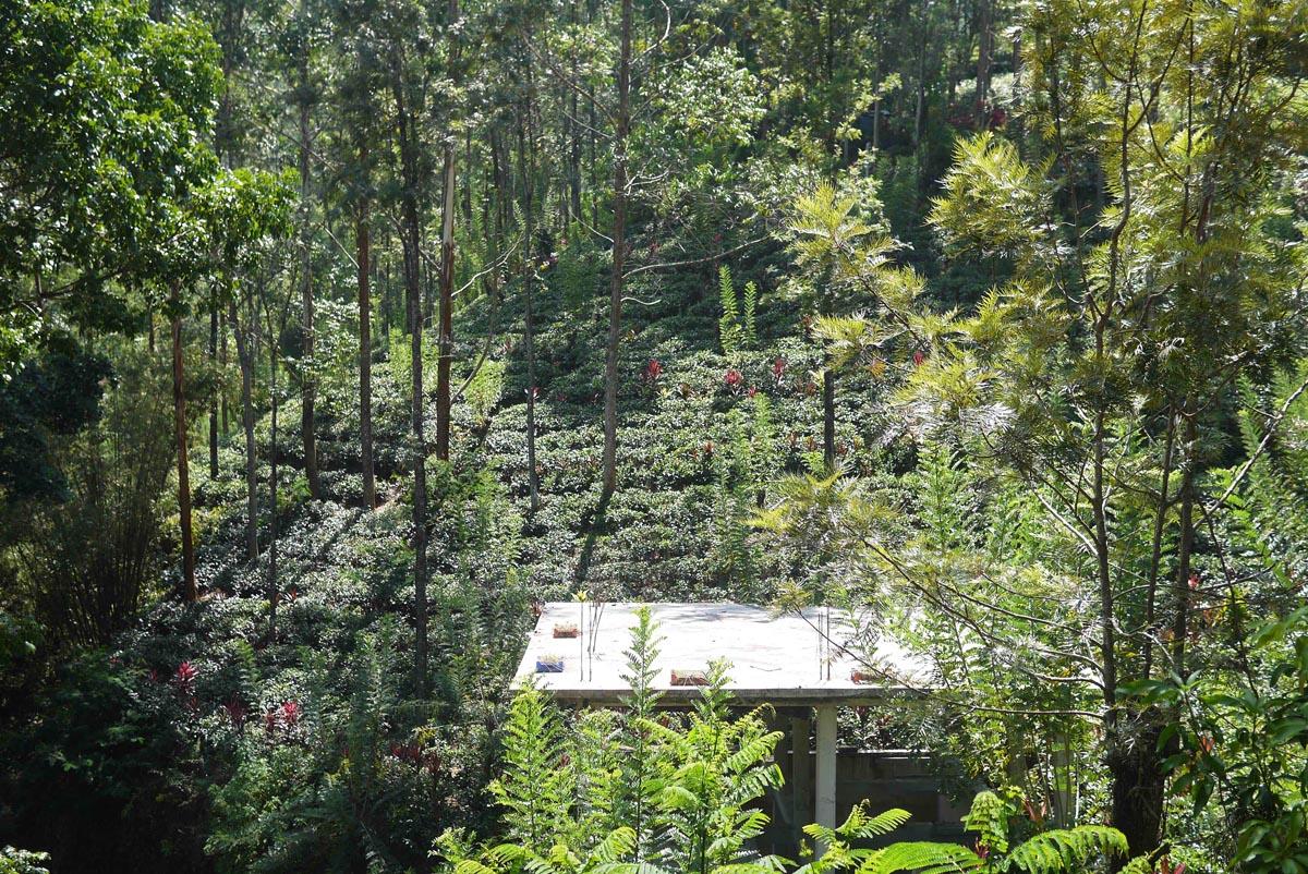 Вид на чайные плантации с терассы коттеджа